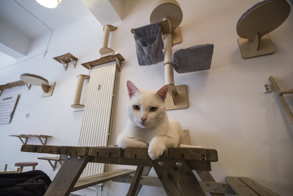 Pebbles Kitty Cat Café